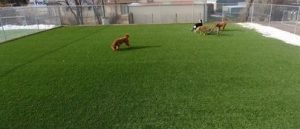 A group of dogs playing in the outside boarding area
