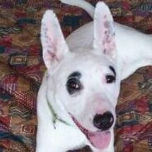 A white and black Bull Terrier named Doodles