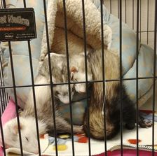 Some Ferrets cuddling while they sleep