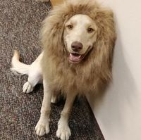 A yellow Lab named Frankie dressed up like a lion